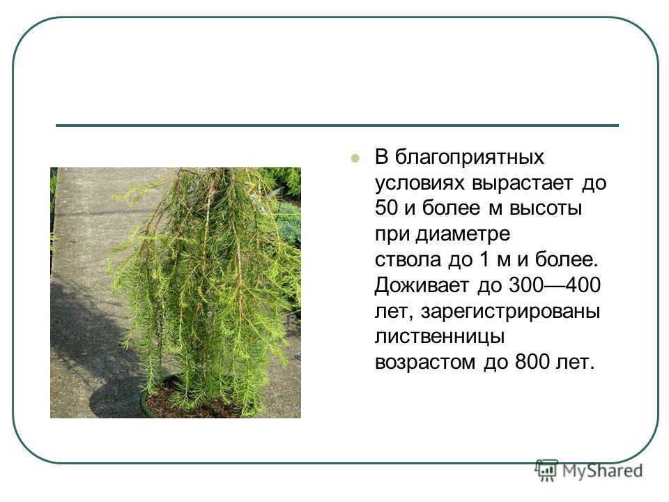 В благоприятных условиях вырастает до 50 и более м высоты при диаметре ствола до 1 м и более. Доживает до 300400 лет, зарегистрированы лиственницы возрастом до 800 лет.