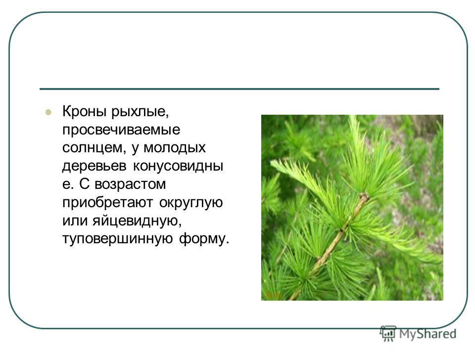 Кроны рыхлые, просвечиваемые солнцем, у молодых деревьев конусовидны е. С возрастом приобретают округлую или яйцевидную, туповершинную форму.