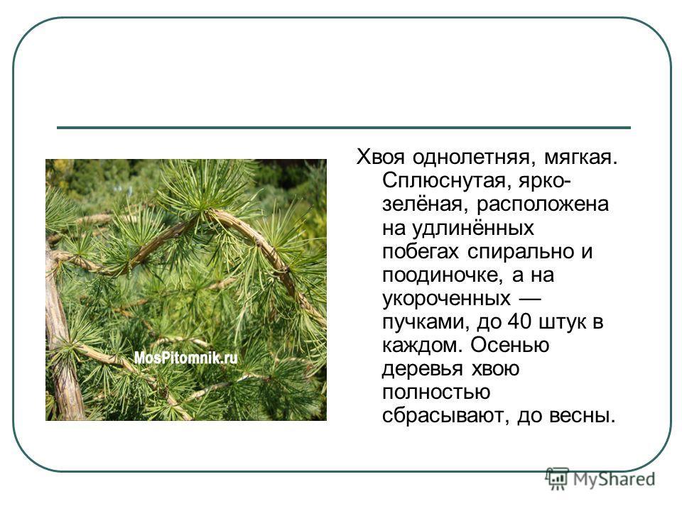 Хвоя однолетняя, мягкая. Сплюснутая, ярко- зелёная, расположена на удлинённых побегах спирально и поодиночке, а на укороченных пучками, до 40 штук в каждом. Осенью деревья хвою полностью сбрасывают, до весны.