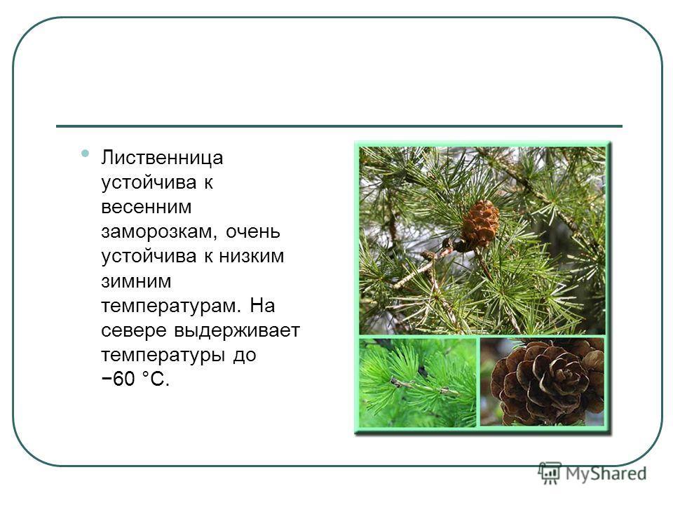 Лилиственница устойчива к весенним заморозкам, очень устойчива к низким зимним температурам. На севере выдерживает температуры до 60 °C.