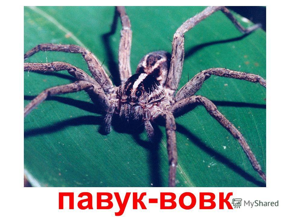 павук-колопряд