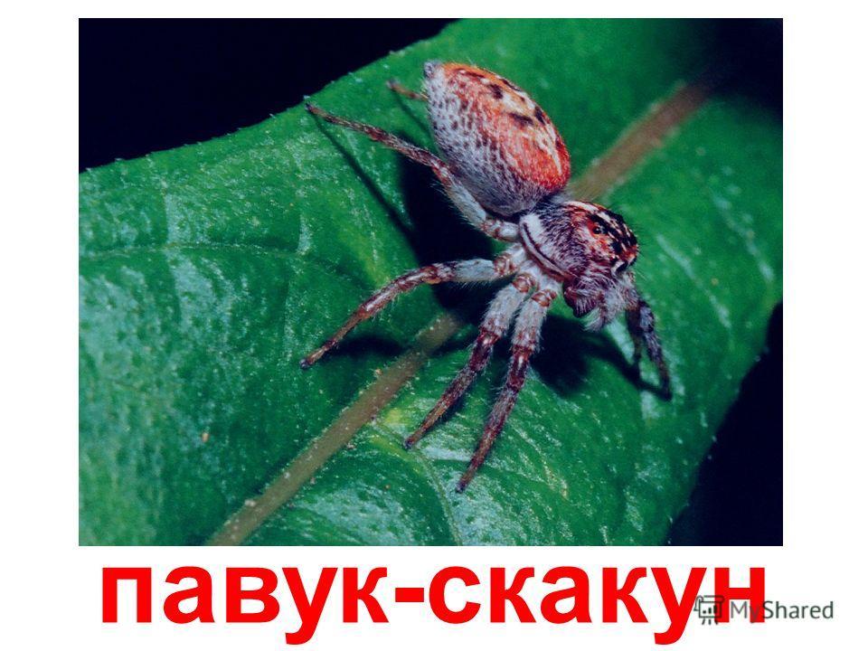 павук-риска