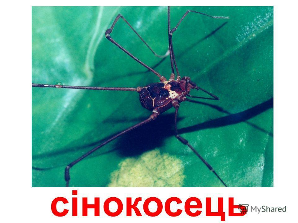 стріловидний павук