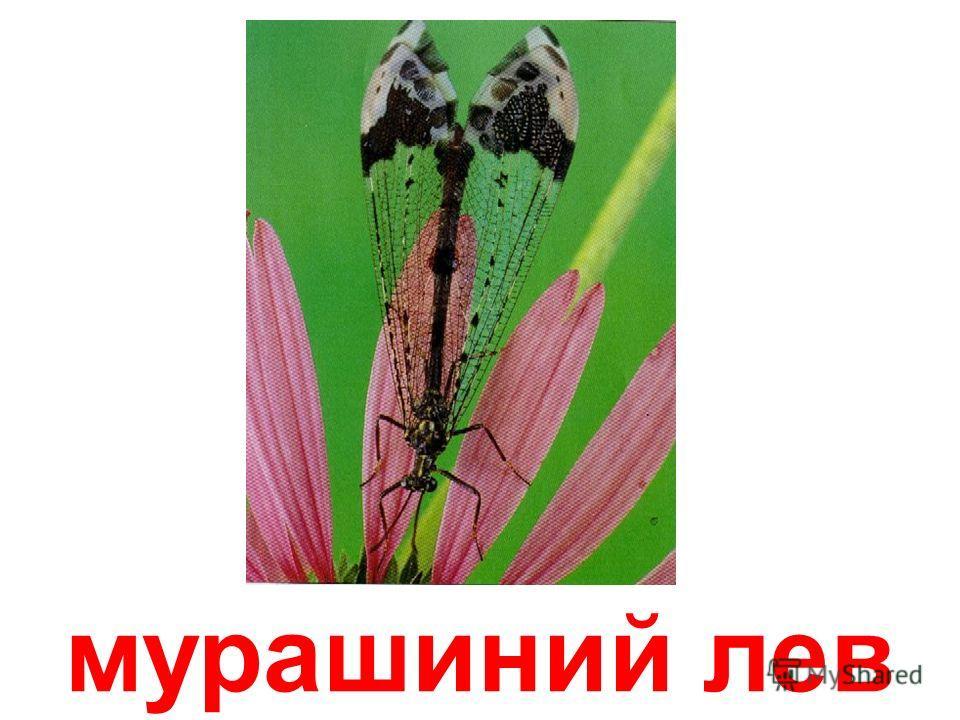сінокосець
