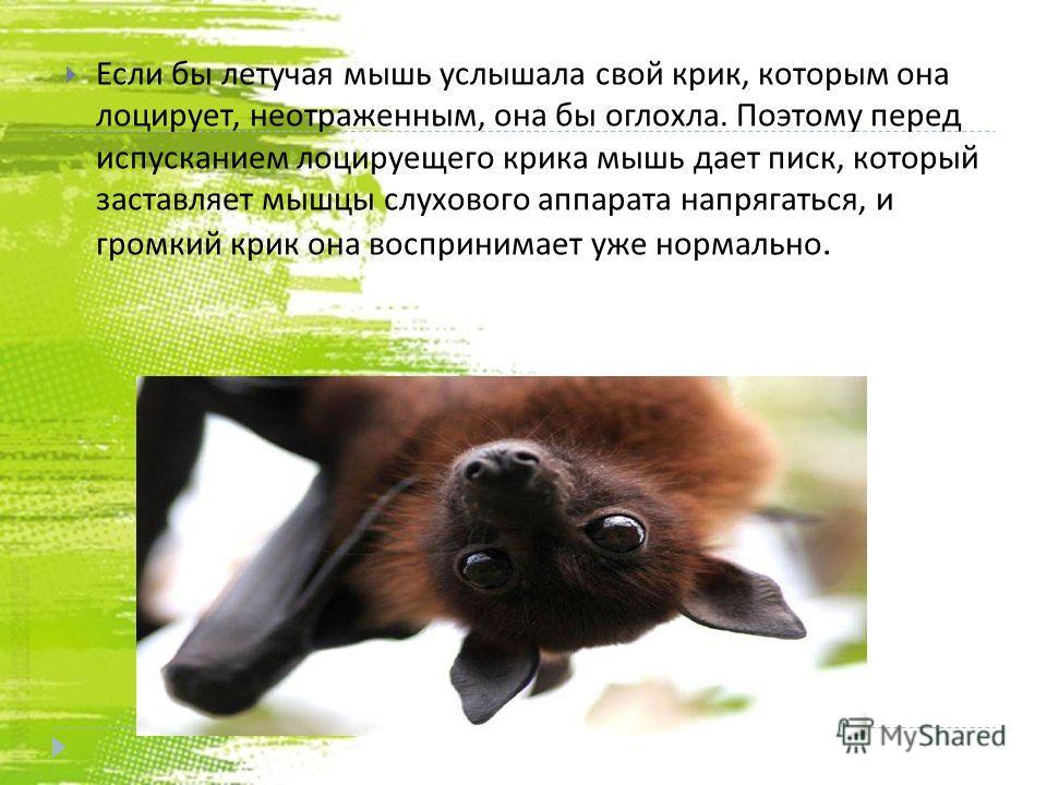 Если бы летучая мышь услышала свой крик, которым она лоцирует, неотраженным, она бы оглохла. Поэтому перед испусканием лоцируещего крика мышь дает писк, который заставляет мышцы слухового аппарата напрягаться, и громкий крик она воспринимает уже норм