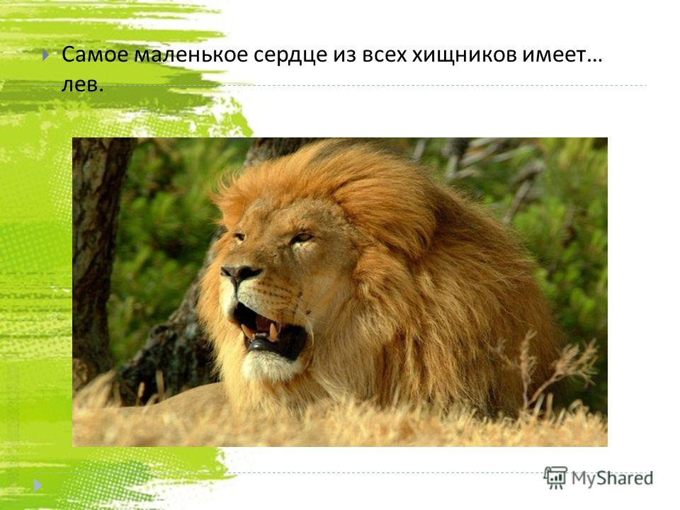 Самое маленькое сердце из всех хищников имеет … лев.