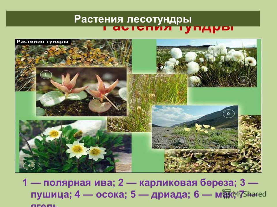 Растения тундры 1 полярная ива; 2 карликовая береза; 3 пушица; 4 осока; 5 дриада; 6 мак; 7 ягель. Растения лесотундры