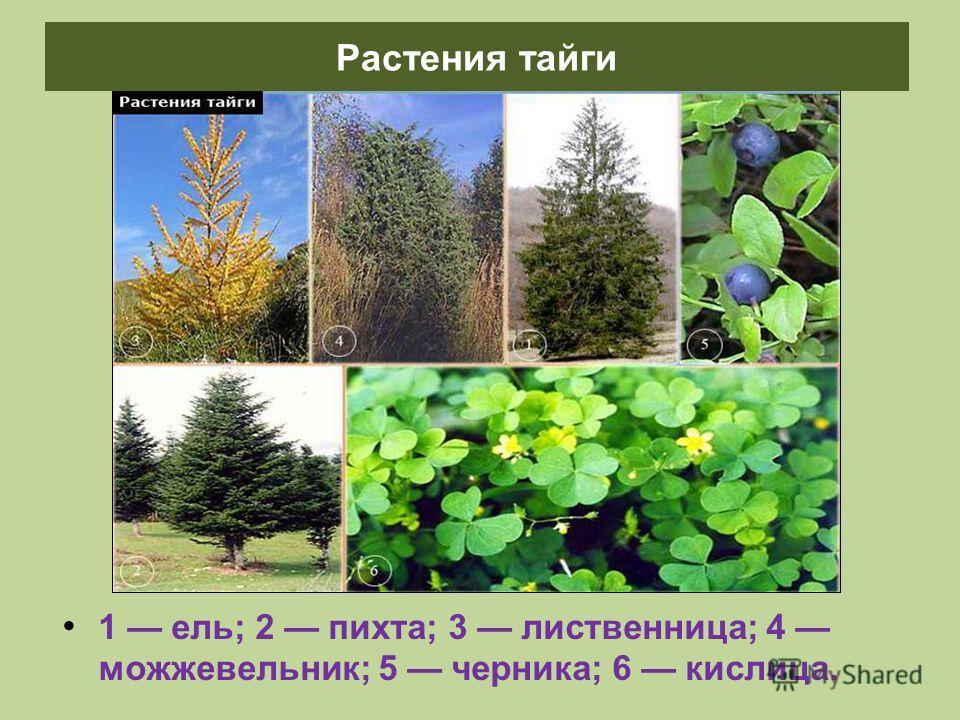1 ель; 2 пихта; 3 лиственница; 4 можжевельник; 5 черника; 6 кислица. Растения тайги