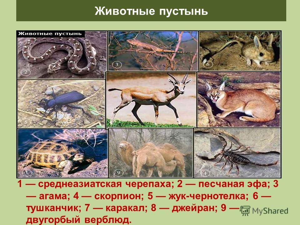 Животные пустынь 1 среднеазиатская черепаха; 2 песчаная эфа; 3 агама; 4 скорпион; 5 жук-чернотелка; 6 тушканчик; 7 каракал; 8 джейран; 9 двугорбый верблюд.