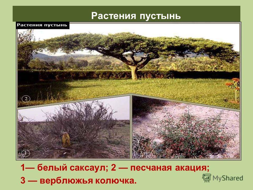 Растения пустынь 1 белый саксаул; 2 песчаная акация; 3 верблюжья колючка.