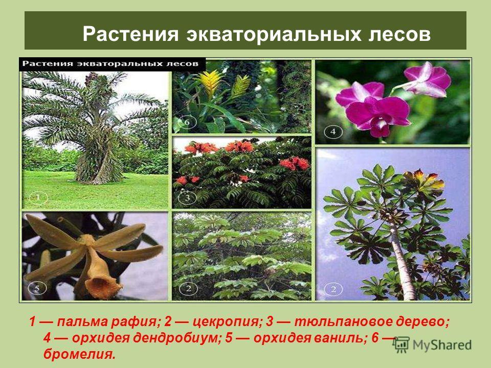 Растения экваториальных лесов 1 пальма рафия; 2 цекропия; 3 тюльпановое дерево; 4 орхидея дендробиум; 5 орхидея ваниль; 6 бромелия.