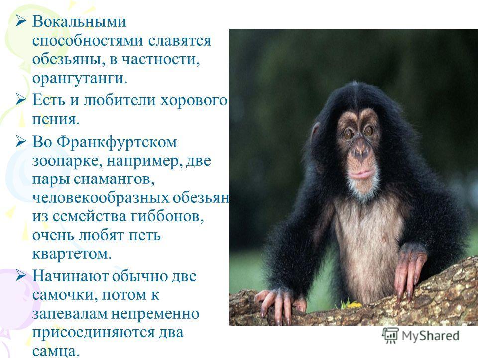 Вокальными способностями славятся обезьяны, в частности, орангутанги. Есть и любители хорового пения. Во Франкфуртском зоопарке, например, две пары сиамангов, человекообразных обезьян из семейства гиббонов, очень любят петь квартетом. Начинают обычно