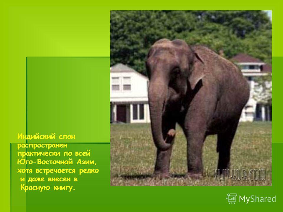 Индийский слон распространен практически по всей Юго-Восточной Азии, хотя встречается редко и даже внесен в Красную книгу.