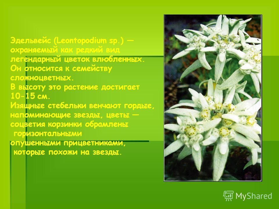 Эдельвейс (Leontopodium sp.) охраняемый как редкий вид легендарный цветок влюбленных. Он относится к семейству сложноцветных. В высоту это растение достигает 10-15 см. Изящные стебельки венчают гордые, напоминающие звезды, цветы соцветия корзинки обр