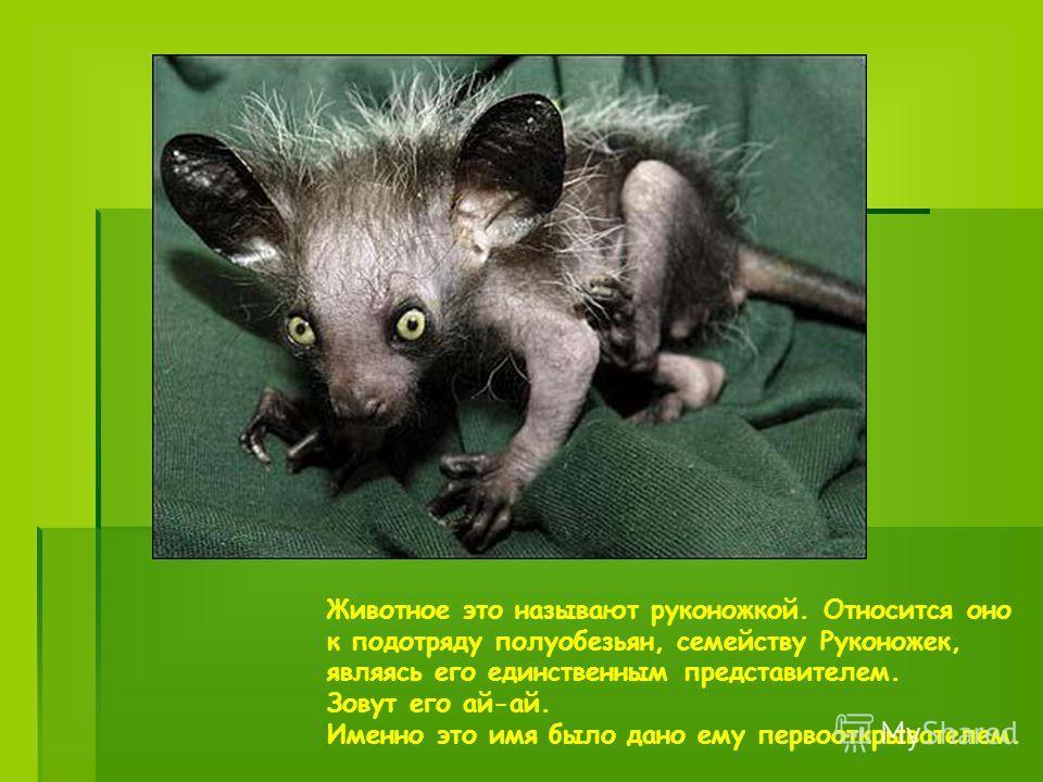 Животное это называют руконожкой. Относится оно к подотряду полуобезьян, семейству Руконожек, являясь его единственным представителем. Зовут его ай-ай. Именно это имя было дано ему первооткрывателем.