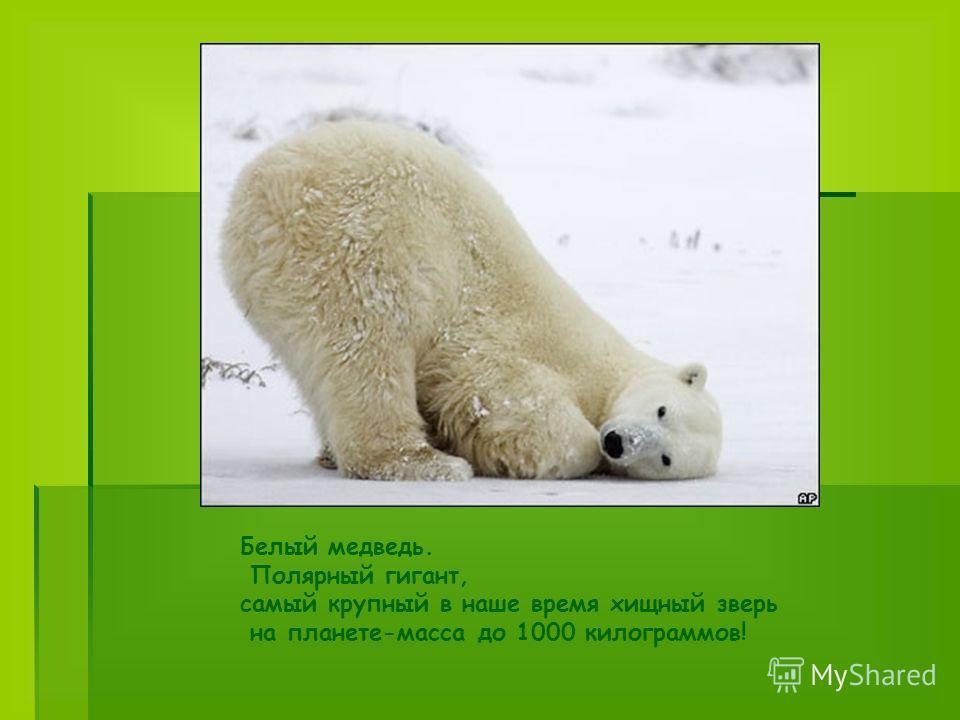 Белый медведь. Полярный гигант, самый крупный в наше время хищный зверь на планете-масса до 1000 килограммов!