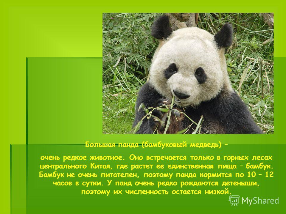 Большая панда (бамбуковый медведь) – очень редкое животное. Оно встречается только в горных лесах центрального Китая, где растет ее единственная пища – бамбук. Бамбук не очень питателен, поэтому панда кормится по 10 – 12 часов в сутки. У панд очень р