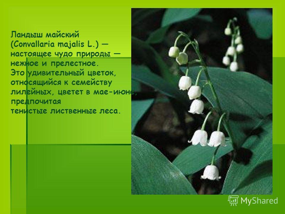 Ландыш майский (Convallaria majalis L.) настоящее чудо природы нежное и прелестное. Это удивительный цветок, относящийся к семейству лилейных, цветет в мае-июне, предпочитая тенистые лиственные леса.