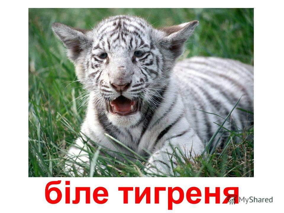 тигреня