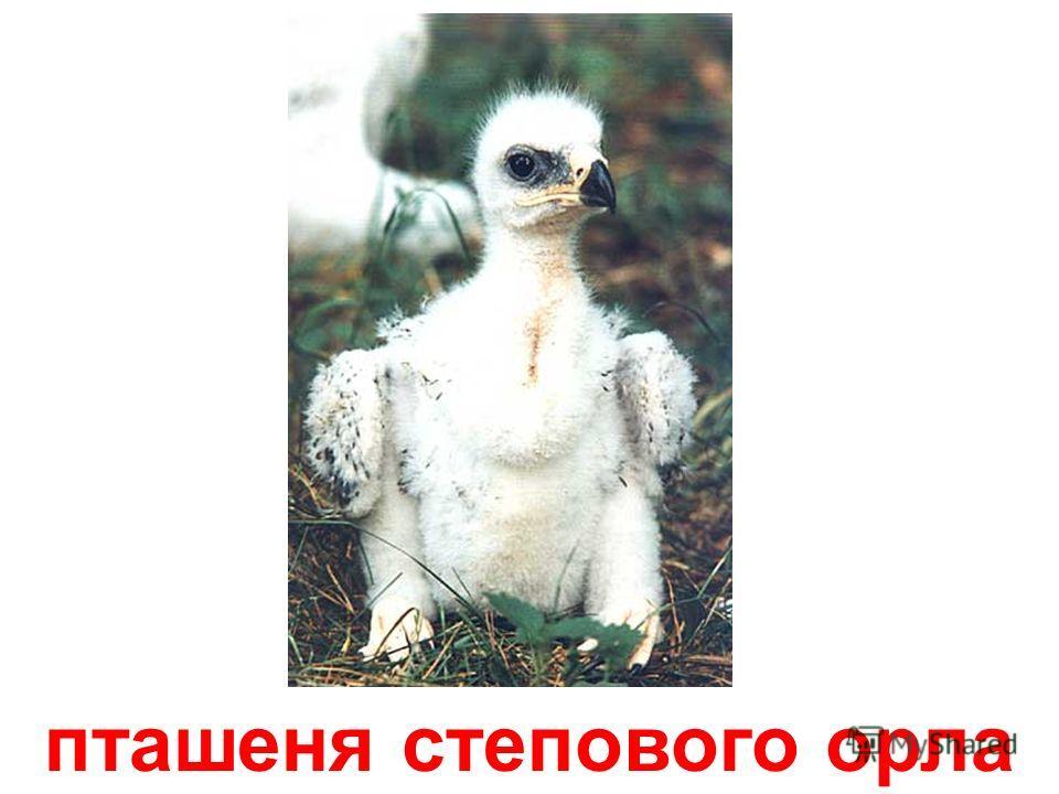 страусеня