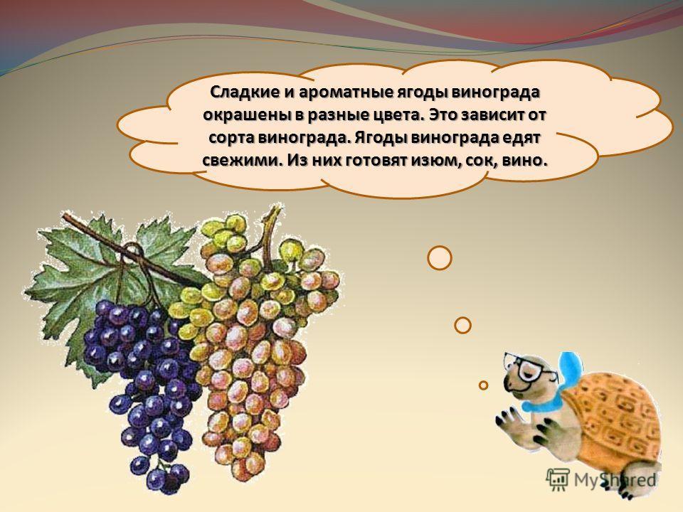 Сладкие и ароматные ягоды винограда окрашены в разные цвета. Это зависит от сорта винограда. Ягоды винограда едят свежими. Из них готовят изюм, сок, вино.