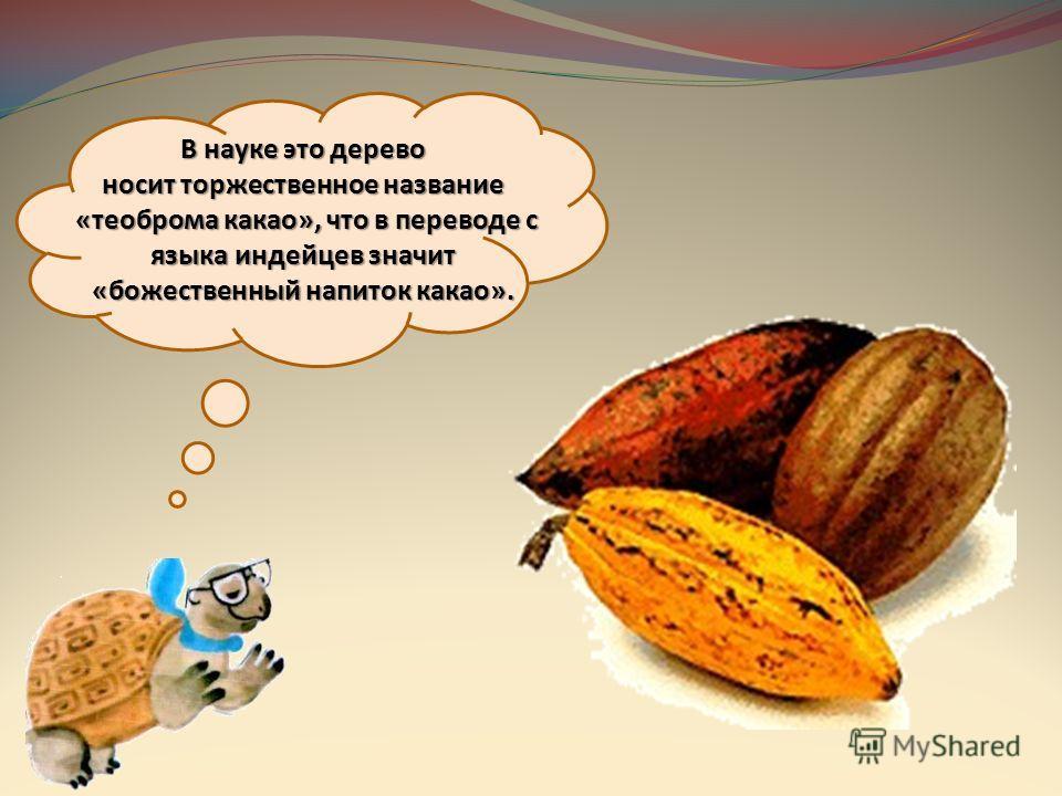 В науке это дерево носит торжественное название «теоброма какао», что в переводе с языка индейцев значит «божественный напиток какао».