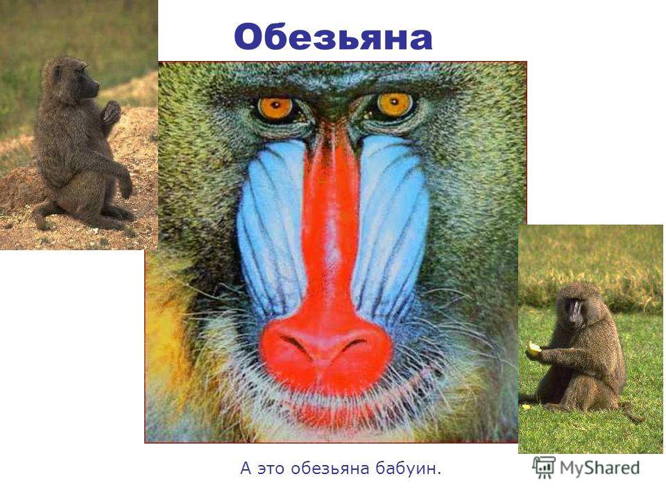Обезьяна Есть несколько видов обезьян. Это сидит в траве – гиббон, а вот грустная шимпанзе, а на камне сидит орангутанг.
