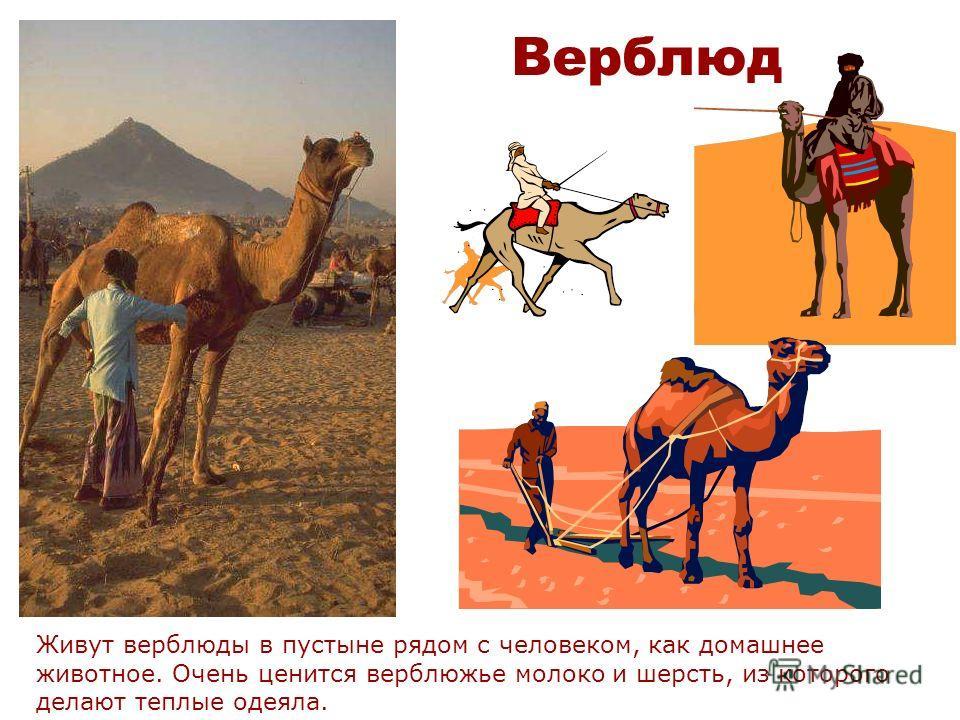 Верблюд Верблюды бывают одногорбые и двугорбые. В горбах у верблюда находятся жировые отложения. Густой мех предназначен для защиты от дневного зноя и ночного холода.