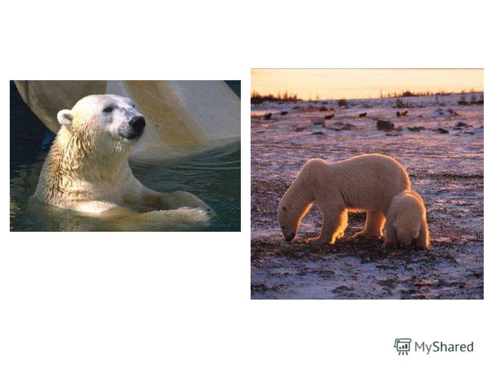 Белый медведь Белый цвет делает медведя невидимым на льдине среди снега. Только черные глаза и нос, могут выдать своего хозяина. Белый медведь отличный пловец, намного лучше и быстрее перемещается под водой, чем на земле.