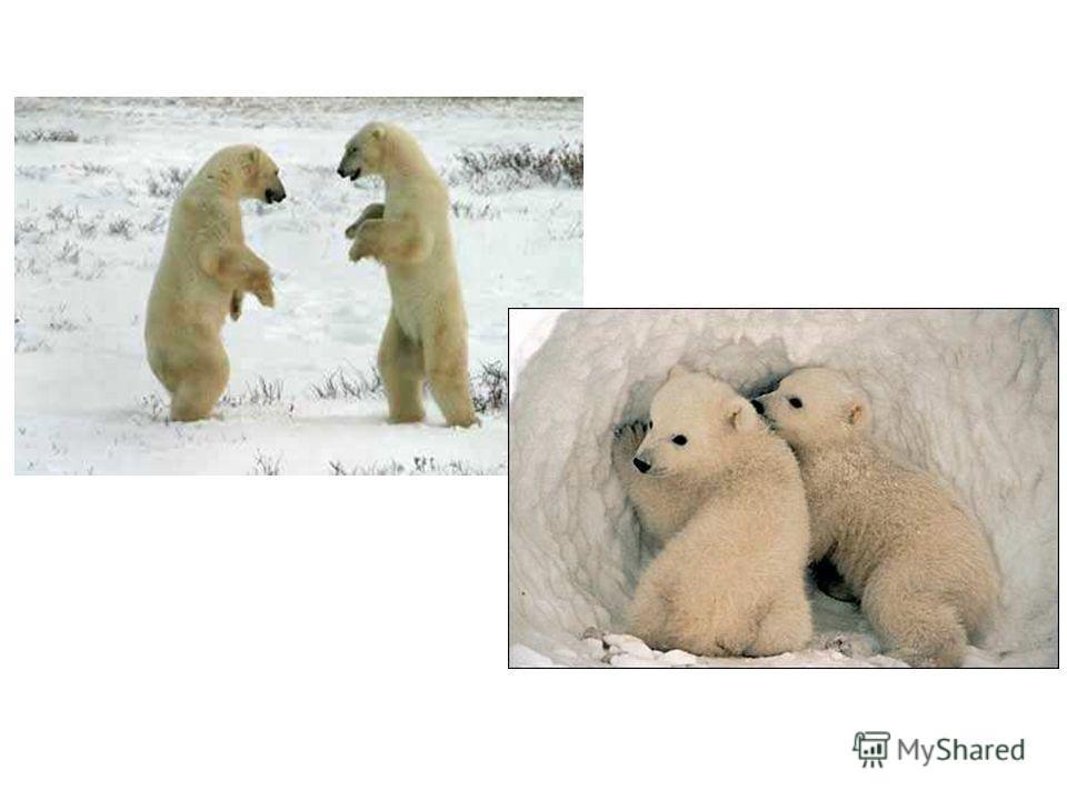Белый медведь Белый медведь в реке ловит рыбу, его добычей может стать – нерпа, морской заяц, моржи. Когда совсем туго – ищет во мху всяких жучков.