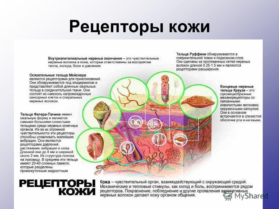 Рецепторы кожи