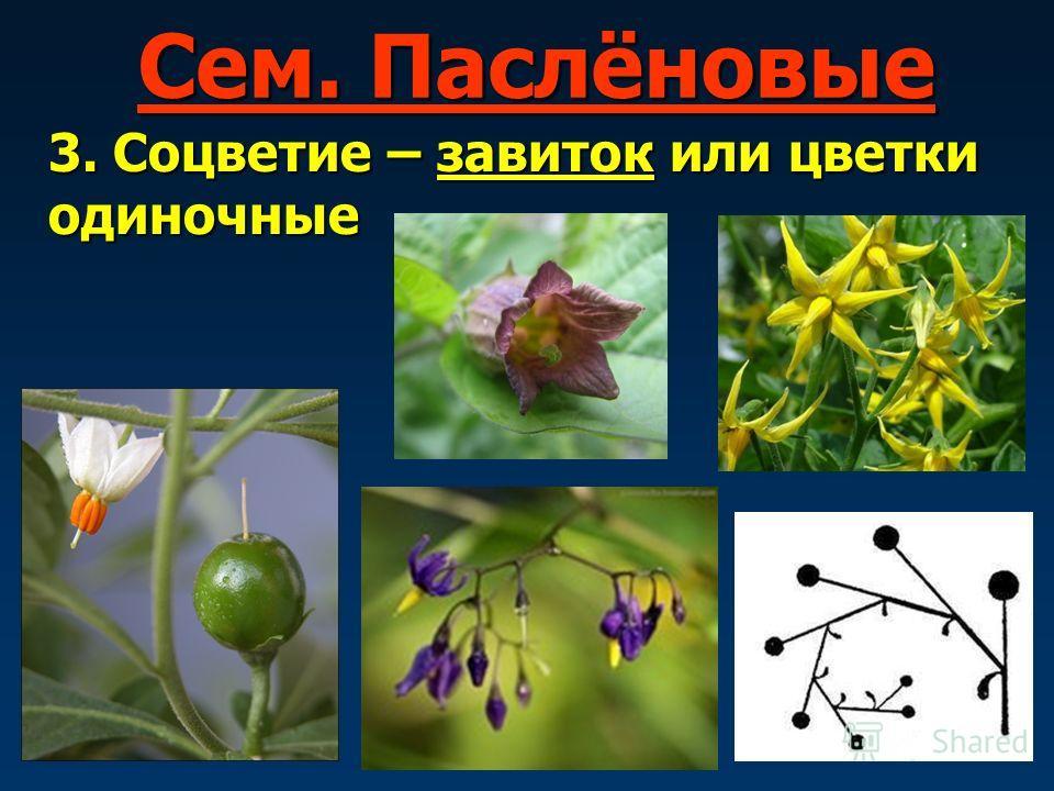 растения с соцветием завиток фото