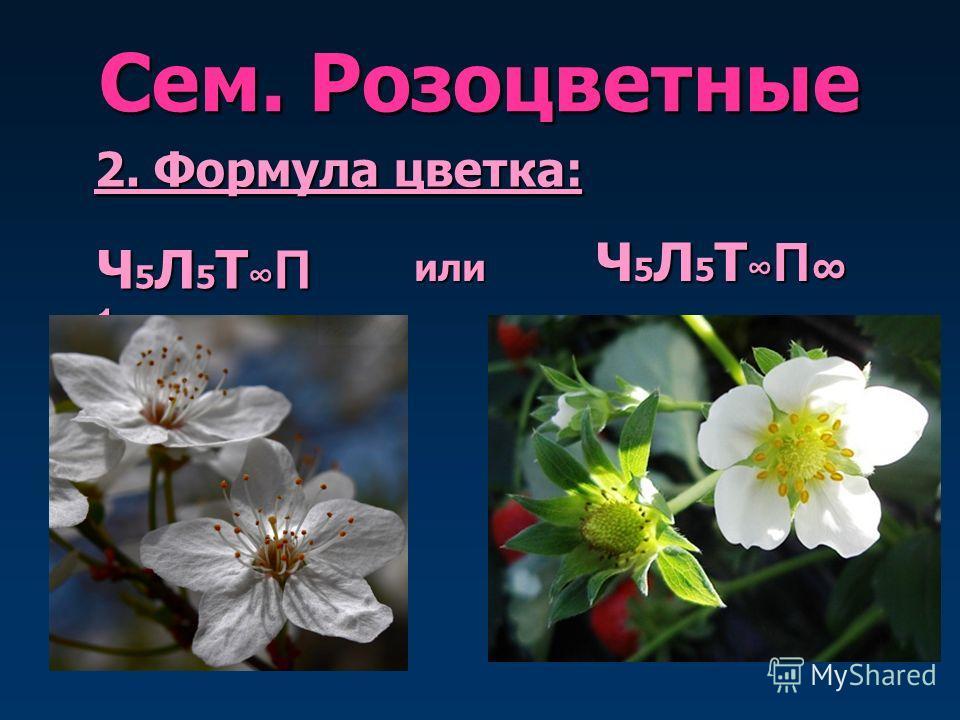 Сем. Розоцветные 2. Формула цветка: Ч 5 Л 5 Т П 1 Ч 5 Л 5 Т П Ч 5 Л 5 Т П или