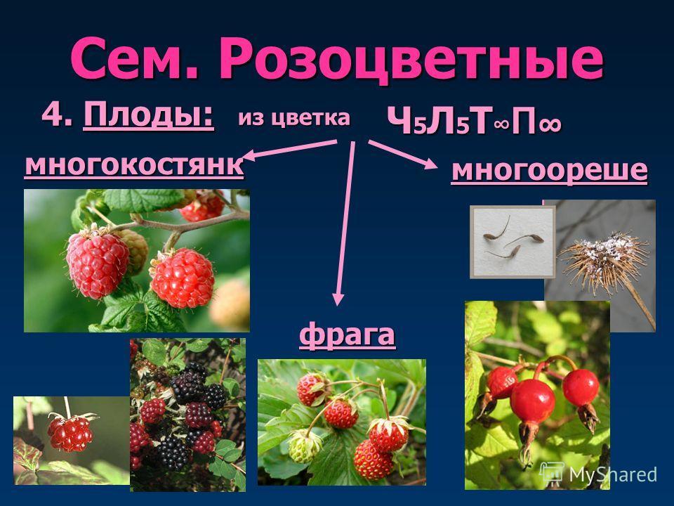 Сем. Розоцветные 4. Плоды: многокостянка а из цветка много орешек Ч 5 Л 5 Т П Ч 5 Л 5 Т П врага