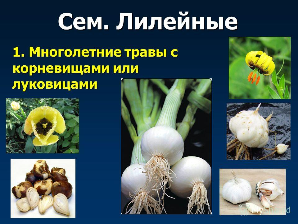 1. Многолетние травы с корневищами или луковицами