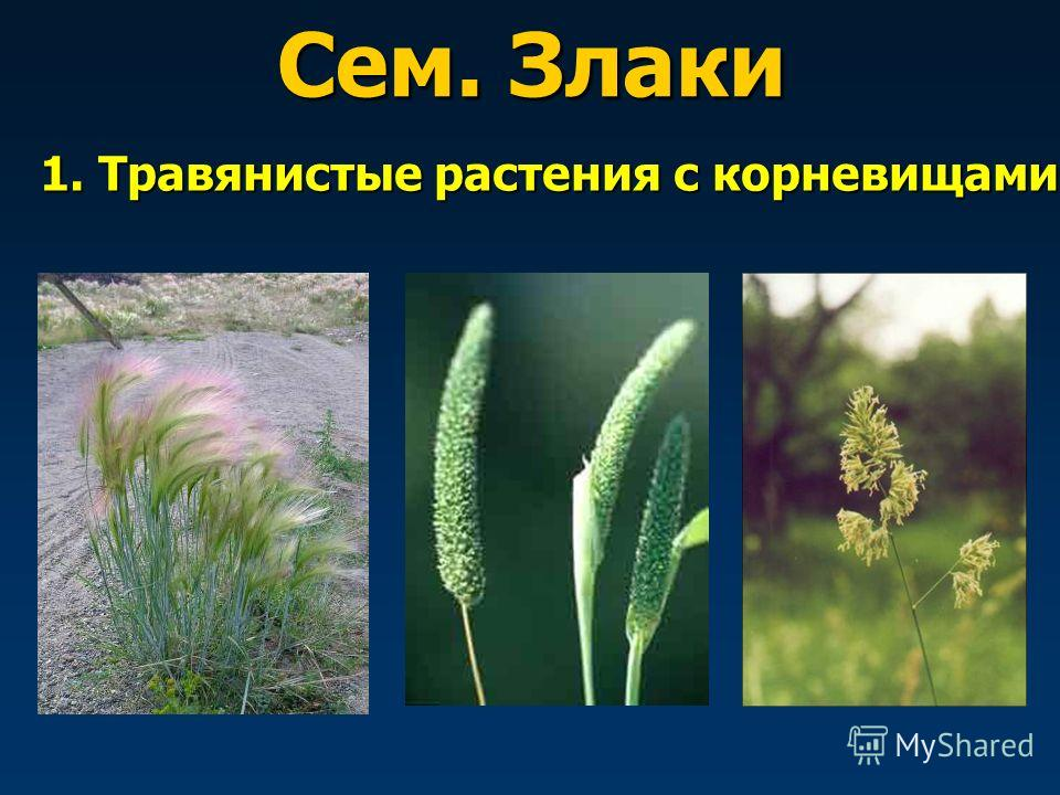 1. Травянистые растения с корневищами