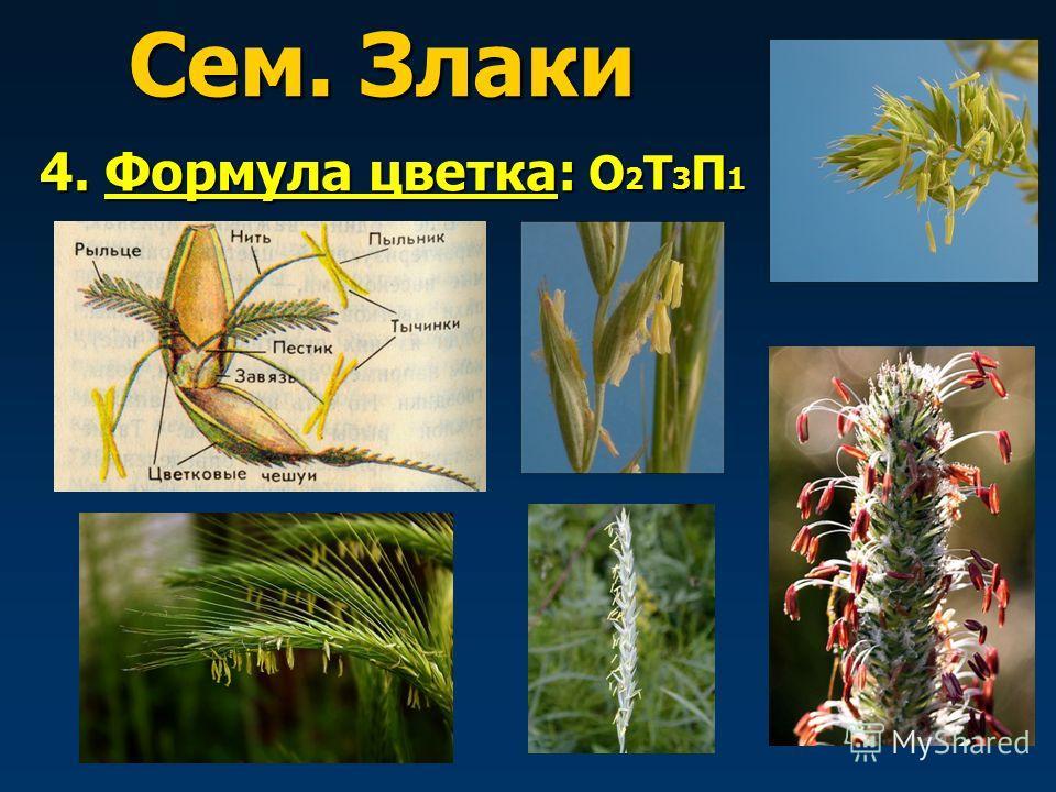Сем. Злаки 4. Формула цветка: О2Т3П1О2Т3П1О2Т3П1О2Т3П1