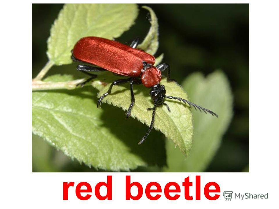 snout-beetle
