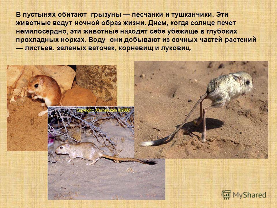 В пустынях обитают грызуны песчанки и тушканчики. Эти животные ведут ночной образ жизни. Днем, когда солнце печет немилосердно, эти животные находят себе убежище в глубоких прохладных норках. Воду они добывают из сочных частей растений листьев, зелен