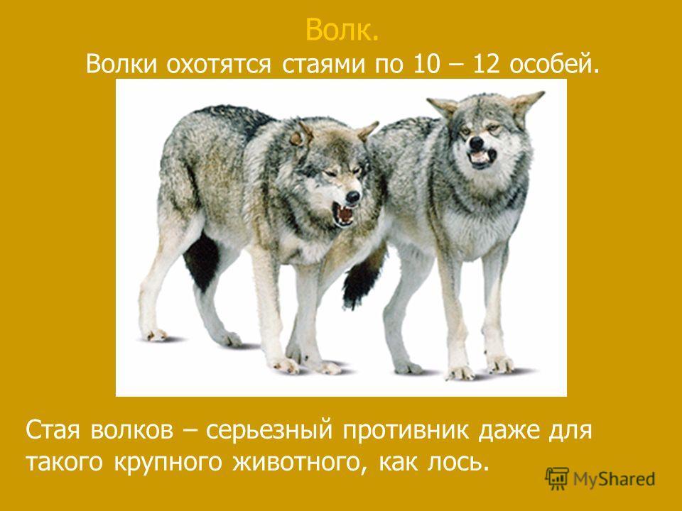 Волк. Волки охотятся стаями по 10 – 12 особей. Стая волков – серьезный противник даже для такого крупного животного, как лось.