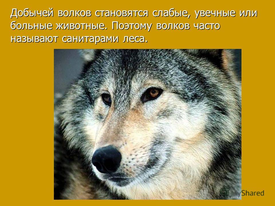 Добычей волков становятся слабые, увечные или больные животные. Поэтому волков часто называют санитарами леса.