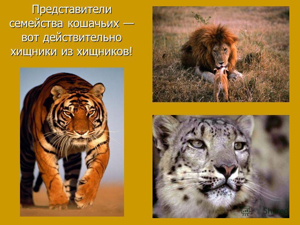 Представители семейства кошачьих вот действительно хищники из хищников!