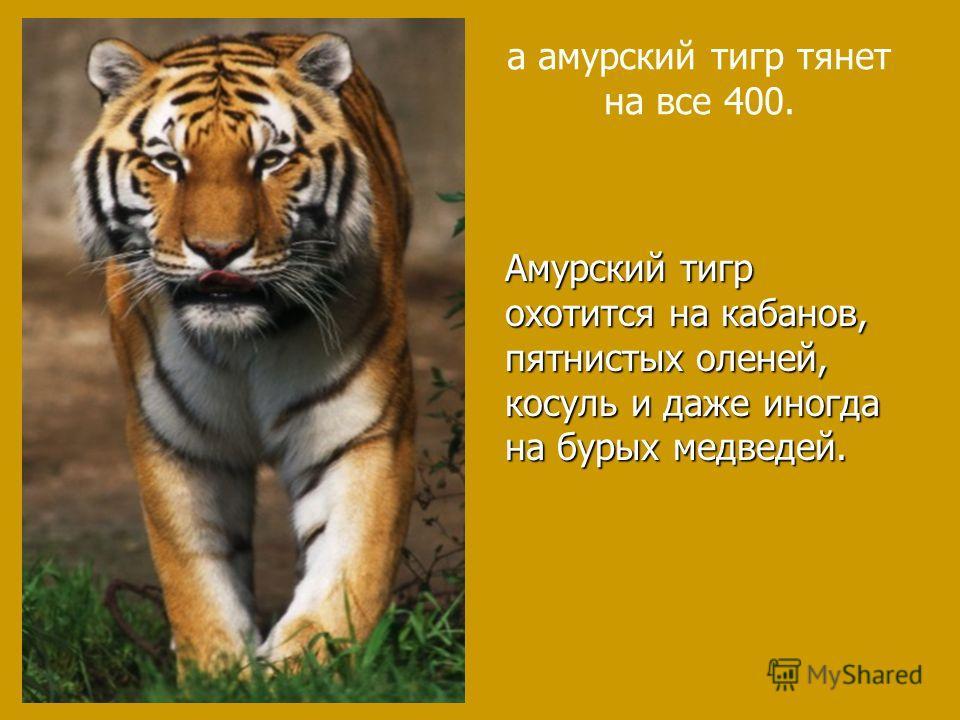 а амурский тигр тянет на все 400. Амурский тигр охотится на кабанов, пятнистых оленей, косуль и даже иногда на бурых медведей.