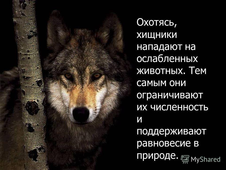 Охотясь, хищники нападают на ослабленных животных. Тем самым они ограничивают их численность и поддерживают равновесие в природе.