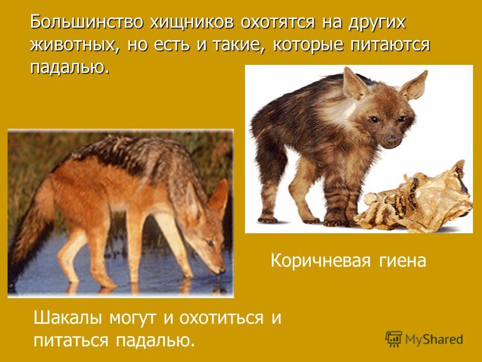 Большинство хищников охотятся на других животных, но есть и такие, которые питаются падалью. Шакалы могут и охотиться и питаться падалью. Коричневая гиена