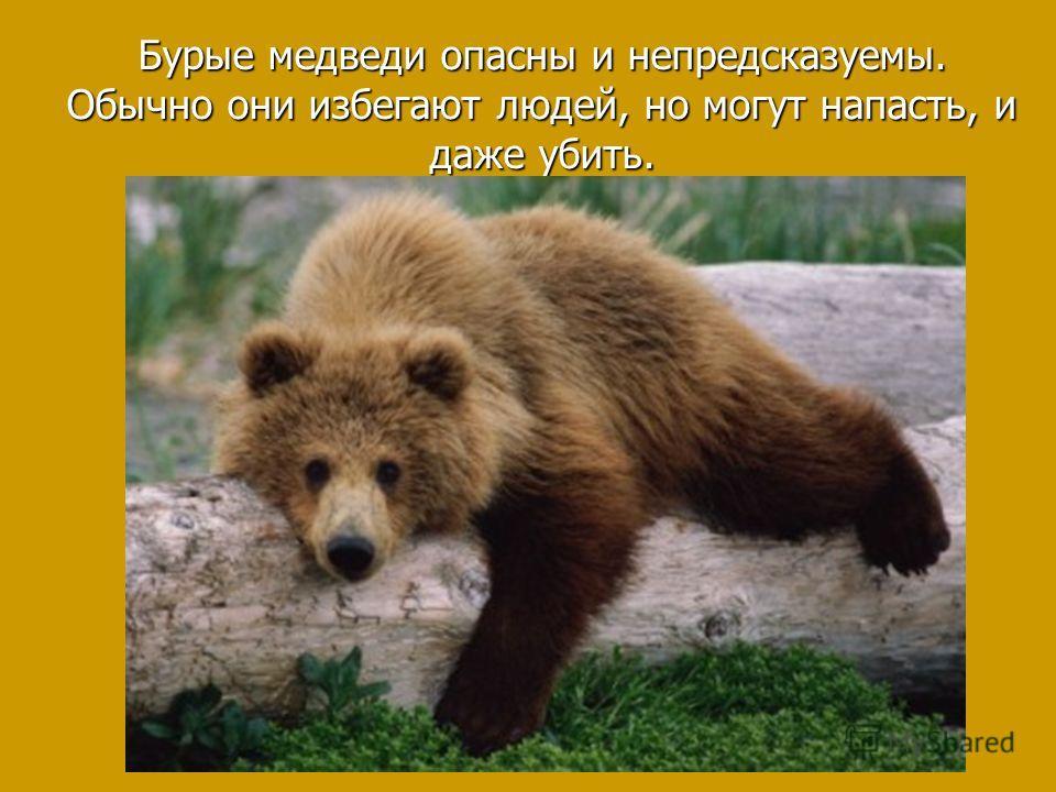 Бурые медведи опасны и непредсказуемы. Обычно они избегают людей, но могут напасть, и даже убить.