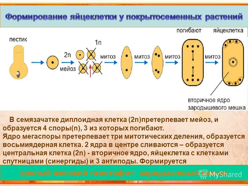 зрелый женский гаметофит- зародышевый мешок В семязачатке диплоидная клетка (2n)претерпевает мейоз, и образуется 4 споры(n), 3 из которых погибают. Ядро мегаспоры претерпевает три митотических деления, образуется восьмиядерная клетка. 2 ядра в центре