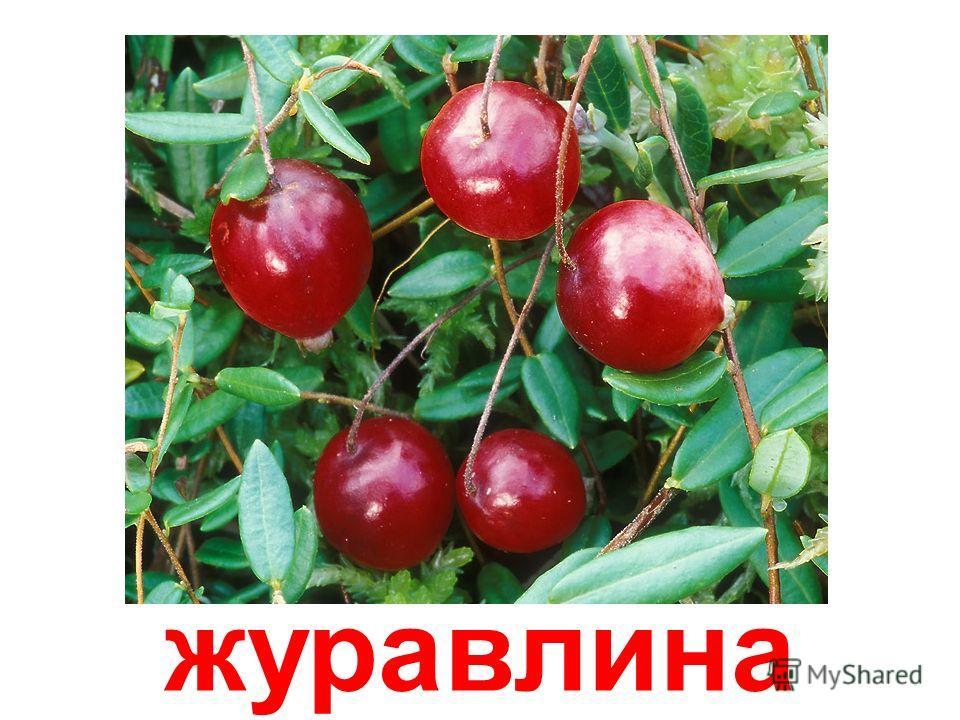 шовковиця