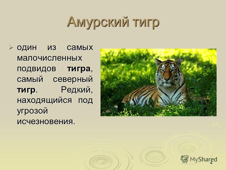 4 Амурский тигр один из самых малочисленных подвидов тигра, самый северный тигр. Редкий, находящийся под угрозой исчезновения. один из самых малочисленных подвидов тигра, самый северный тигр. Редкий, находящийся под угрозой исчезновения.