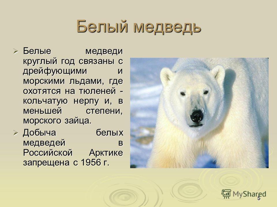 5 Белый медведь Белые медведи круглый год связаны с дрейфующими и морскими льдами, где охотятся на тюленей - кольчатую нерпу и, в меньшей степени, морского зайца. Белые медведи круглый год связаны с дрейфующими и морскими льдами, где охотятся на тюле